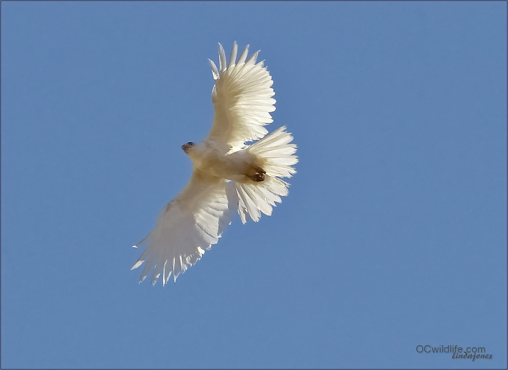 Beautiful Leucistic/Albino hawk, I thought he/she looked a tad larger than a Red Tail, but it may have been a female.