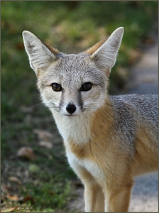 Kit Fox, a rare sight, they exist in a few areas near Gorman and the deserts, seen roaming not far from their dens until evening, when they hunt for prey or anything humans may have left around.