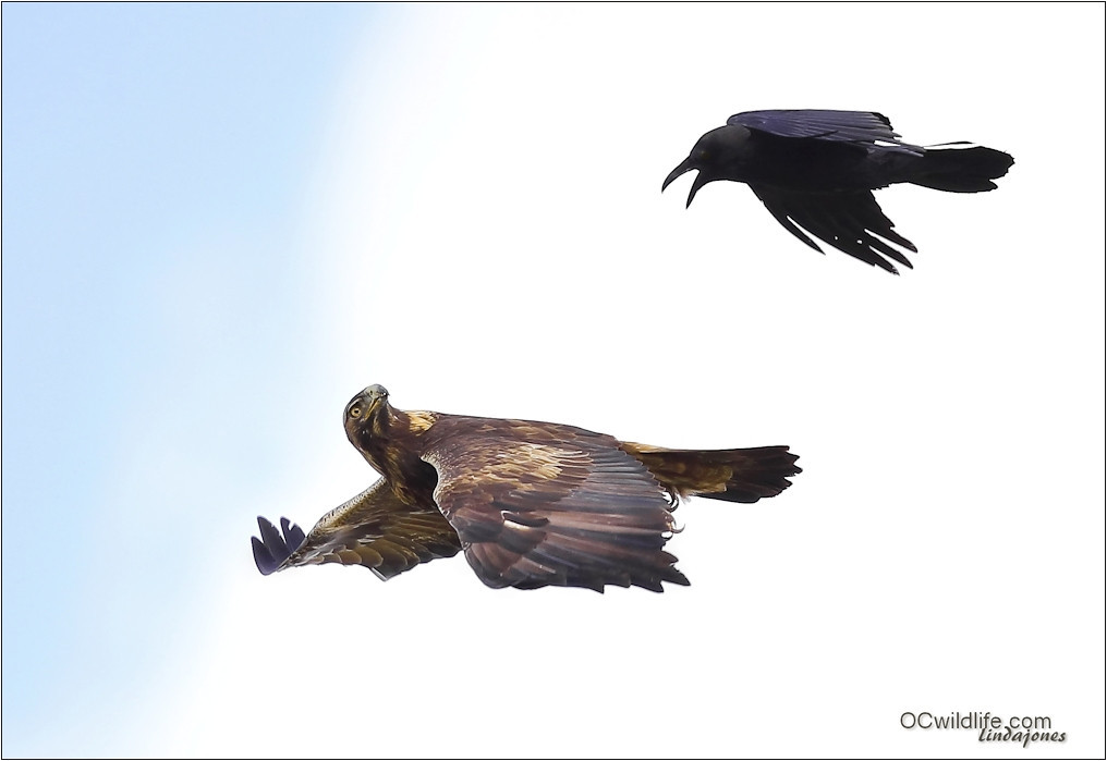 Golden Eagle looks back at the Irvine Crow. Hey buddy get the wide load off the road, this is Irvine, ya know?