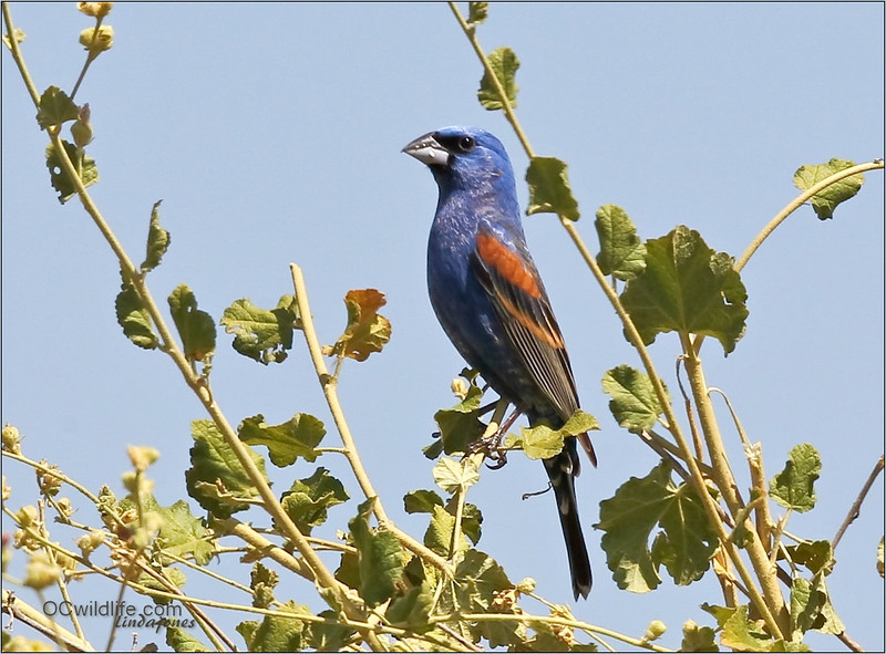 Blue Grosbeak, a migrating bird.