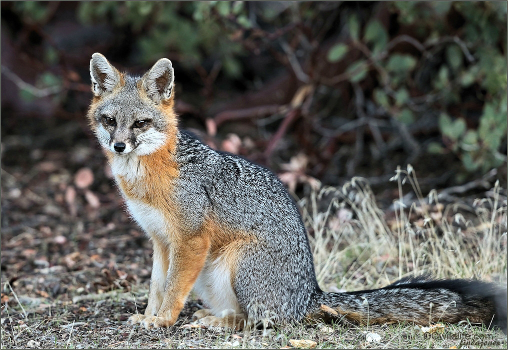 This is the year of the fox for me. Pretty close to extinct in Orange County, irradicated decades ago. Making a comeback in some inland valleys, Orange County still having some sightings due to a reintroduction of them in the 90's. This one qualifies as a Gray fox, even though it was the Red Fox introduced.