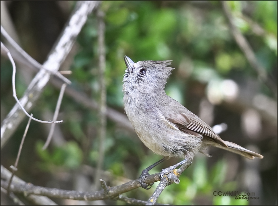 Loved this little Tuffted Oak Titmouse.