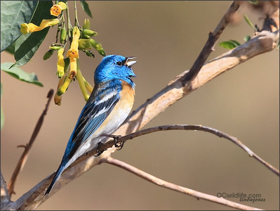 Lazuli Bunting, male. Sang me a few songs.