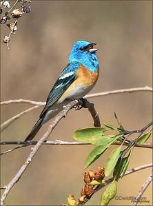 Lazuli Bunting, Irvine, Ca