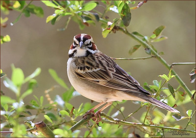 Lark Sparrow's of Irvine