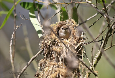 A lovelyWrentit nest.