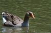 (30Apr13)  graylag goose <i>(anser anser)</i>, lake johnson, raleigh, nc.  f/8, 1/640s, iso 800.
