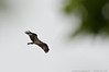 (16Apr13)<br /> <br /> osprey, stuck in a headwind.<br /> <br /> f/11, 1/1250s, iso 640.
