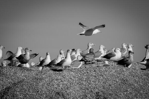Shell Pile Gulls