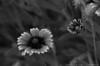 """(17Jul13)  roadside flowers.  <a href=""""http://carpelumen.smugmug.com/Photography/2012/July12/23903237_fFMkTx#!i=1972122218&k=HrqTwTj"""">one year ago.</a>  f/8, 1/250s, iso 800."""