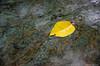 17Jun13<br /> <br /> cherry leaf on rainy granite.<br /> <br /> f/5.6, 1/80s, iso 800.