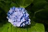 (20Jun13)<br /> <br /> hydrangea in the afternoon sunlight.<br /> <br /> f/8, 1/100s, iso 800.