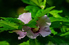 (21Jun13)<br /> <br /> rose of sharon.<br /> <br /> f/8, 1/160s, iso 1250.
