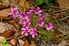 "(12May13)  shamrock blossoms.  <a href=""http://carpelumen.smugmug.com/Photography/2012/May12/22934925_7Gqkfc#!i=1842768732&k=QPfW7CX"">one year ago.</a>  f/11, 1/320s, iso 2500."