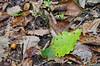 "(13Oct13)  fallen leaf.  <a href=""http://carpelumen.smugmug.com/Photography/2012/October12/25776995_7PPfpZ#!i=2147525678&k=23NG7dM"">one year ago.</a>  f/86, 1/100s, iso 1250."
