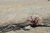 "(6Apr14)  diamorpha in bloom, arabia mountain.  <a href=""http://carpelumen.smugmug.com/Photography/2013/April13/28693682_r4GKQB#!i=2443326430&k=p5gHDDW"">one year ago.</a>  f/16, 1/250s, iso 250."
