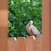 (15Aug14)<br /> <br /> framed dove.<br /> <br /> f/11, 1/400s, iso 1600.