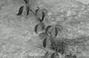 "12Jul14  vine against gneiss.  <a href=""http://carpelumen.smugmug.com/Photography/2013/July13/30293485_qQqWmX#!i=2632172061&k=TC4QCkg"">one year ago.</a>  f/8, 1/100s, iso 400."