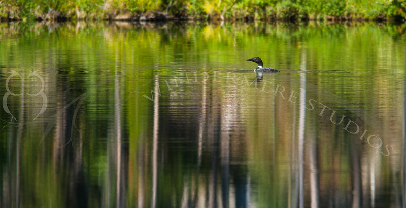 Loon and reflections on Herbert Lake.