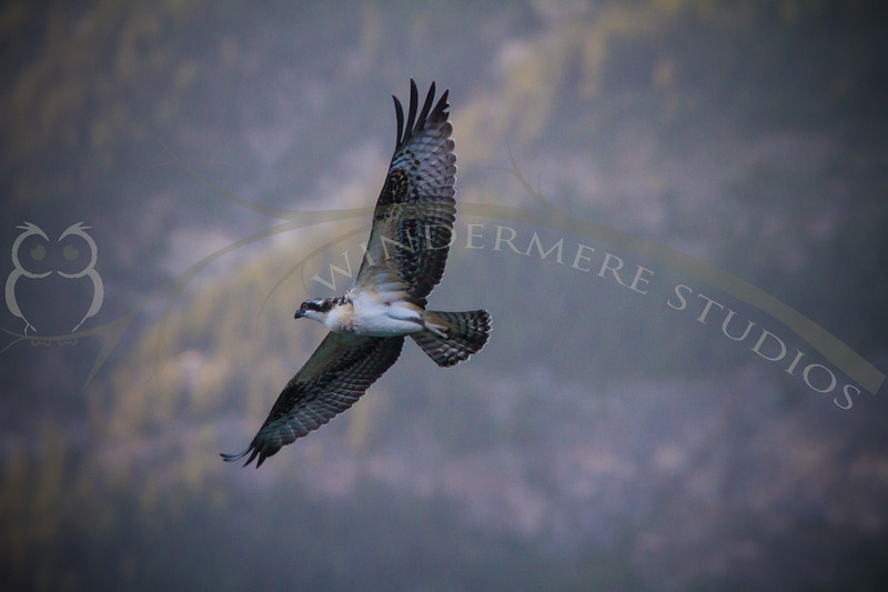 Osprey Fledge at Castle Mountain