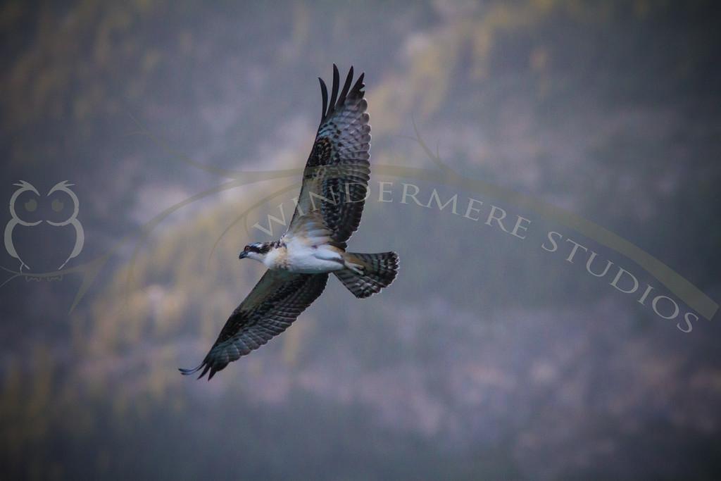 Osprey Fledge at Castle Mountain