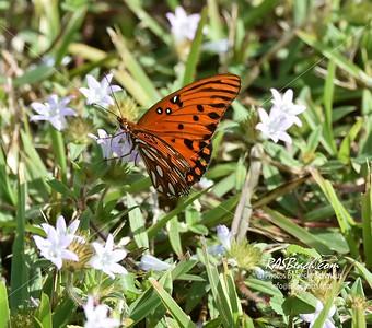 Gulf Fritillary Butterfly in Loxahatchee