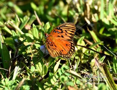 Gulf Fritillary Butterfly in Loxahatchee - RAS4237