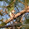 Yellow-billed Cuckoo in Loxahatchee National Wildlife Refuge
