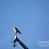 Red Shoulder Hawk in Loxahatchee