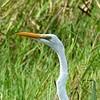 Great Egret in Loxahatchee