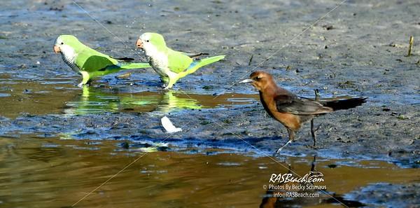 Parakeets in Loxahatchee - RAS4525