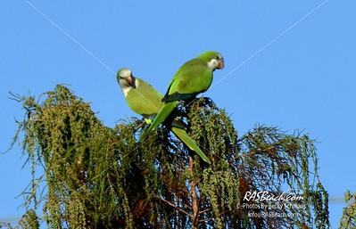 Parakeets in Loxahatchee - RAS4503