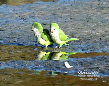 Parakeets in Loxahatchee - RAS4534
