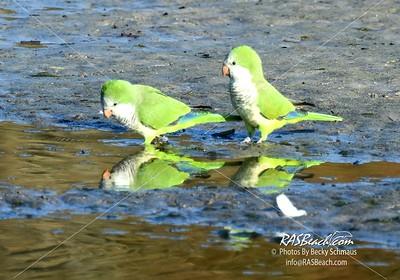 Parakeets in Loxahatchee - RAS4536