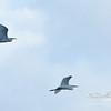 Great Egrets in Loxahatchee