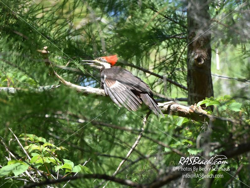Pileated Woodpecker in Loxahatchee National Wildlife Refuge