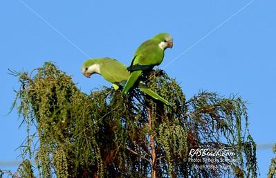 Parakeets in Loxahatchee - RAS4501