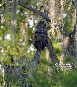 Great Horned Owl in Loxahatchee National Wildlife Refuge