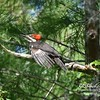 Pileated Woodpecker in Loxahatchee National Wildlife Refuge