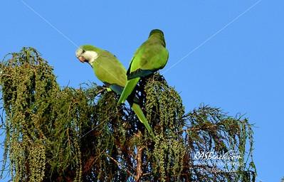 Parakeets in Loxahatchee - RAS4509