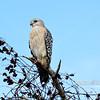 2015  Loxahatchee - Red Shoulder Hawk
