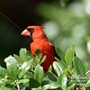 Cardinal in Loxahatchee National Wildlife Refuge