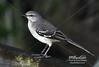 Mockingbird in Loxahatchee -  RAS4432