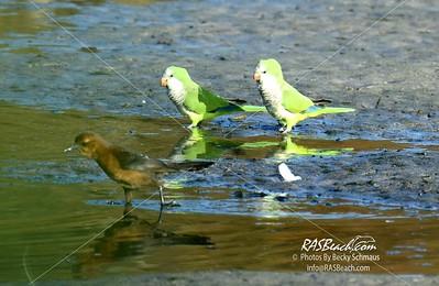 Parakeets in Loxahatchee - RAS4526