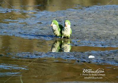 Parakeets in Loxahatchee - RAS4550