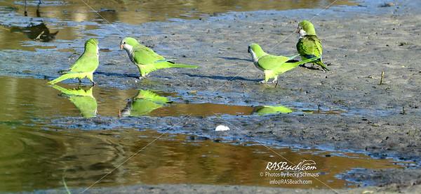 Parakeets in Loxahatchee - RAS4563