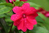 July 8 2015 Impatiens<br /> <br /> I don't have much today.<br /> <br /> Thanks for all the comments on the Bean.