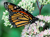 August 31 2015 Butterfly<br /> <br /> At the Brookfield Zoo.  So, is this Daily thing working again now?