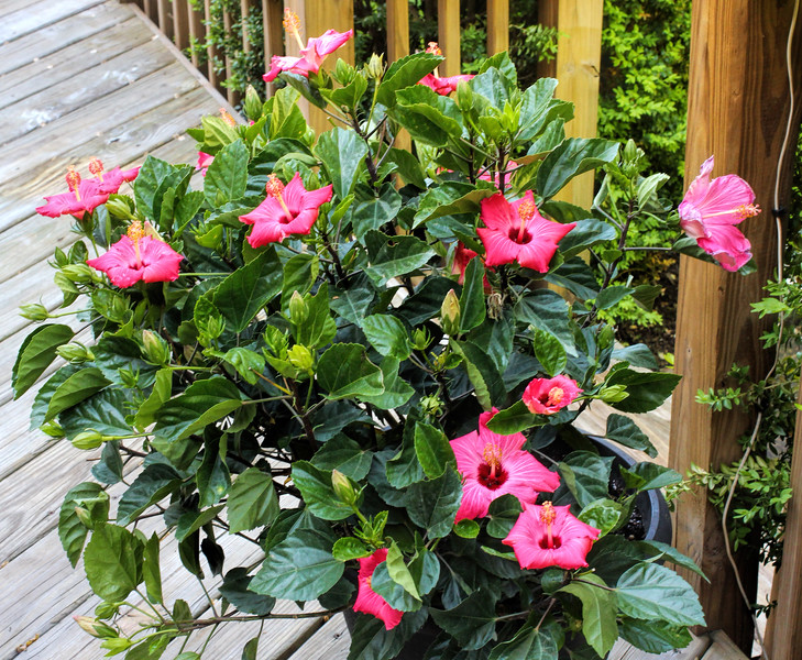 May 23 2015 Off to a great start<br /> <br /> Our new hibiscus bush is thriving and we haven't even had any warm days yet.<br /> <br /> Thanks for all the great comments on my crow shot.