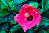 August 5 2015 Hibiscus<br /> <br /> On our deck